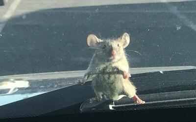 Un ratón en el parabrisas.