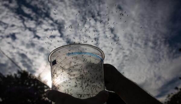 El mosquito transmisor de zika es el mismo que contagia el chiyungunya y...