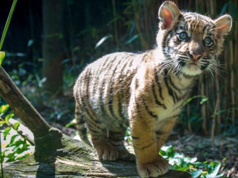 Tigre de Sumatra cachorro