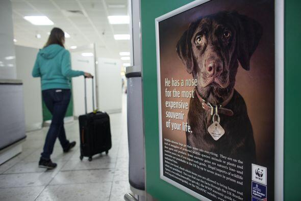 Los más conocidos son los perros de drogas, pero también pueden detectar...