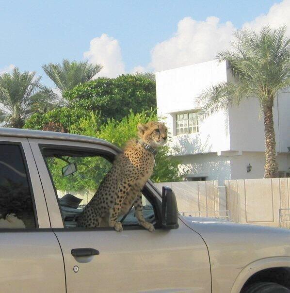 Aparentemente otra de sus exóticas mascotas: un jaguar. La foto está fec...