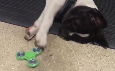 Ni los perros se salvan de la moda de los 'fidget spinners'