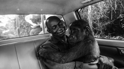 Un gorila abrazado a su rescatador y otras fotografías ganadoras del concurso de vida silvestre 2017