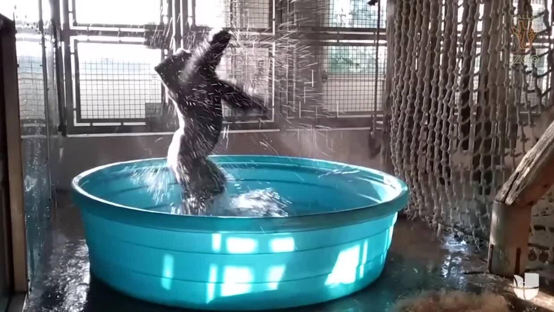 Este gorila baila en su piscina del zoológico de Dallas y lo comparan co...