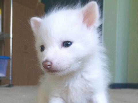 Zorro albino encantador