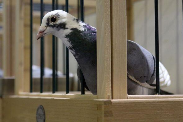 ¡Además, la inteligencia de estas aves les permite reconoce...