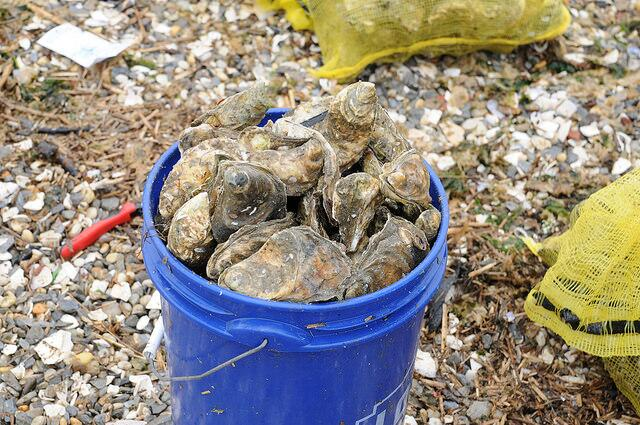El proyecto en Jamaica Bay, Long Island marca el regreso de las ostras a...