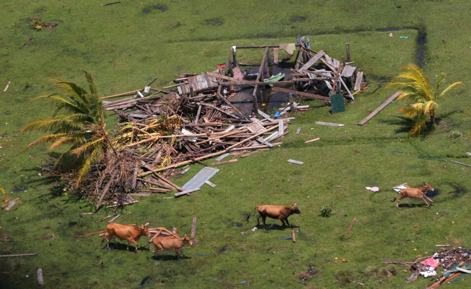 Cows run past a house completely destroyed by Hurricane Felix, 07 Septem...