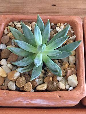 Piedritas. Este tipo de plantas quedan geniales cuando se las combina co...