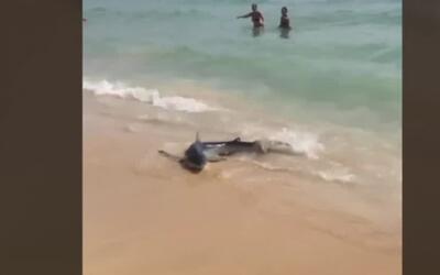 En video: Un tiburón genera pánico entre los turistas en Mallorca