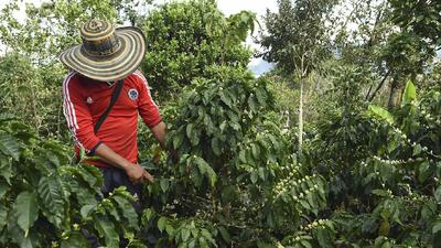 Este es una plantación de café en Colombia.