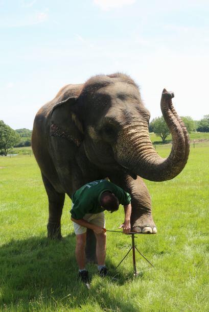 El grupo entero de elefantes que habitan en el zoológico también recibió...