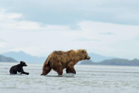 El juguetón osezno aprovechó la espalda de su madre para viajar por el río.