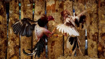 En fotos: Peleas de gallos, el juego de apuestas que nunca se extinguió en Cuba