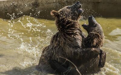 El oso pardo ya no está en peligro de extinción y su presencia crece en...