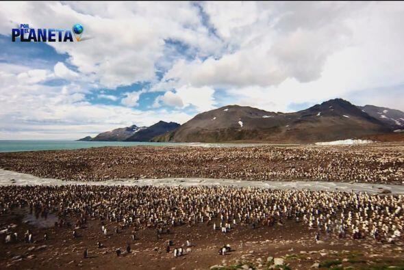 Miles de Pingüinos Rey se reúnen aquí para aparearse.