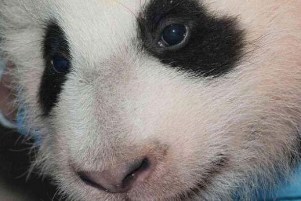 Actualmente, hay 15 pandas gigantes en cuatro ciudades estadounidenses b...