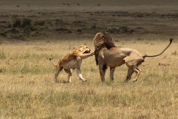 Pasado un tiempo, la leona y el león parecieron tranquilizarse lo sufici...