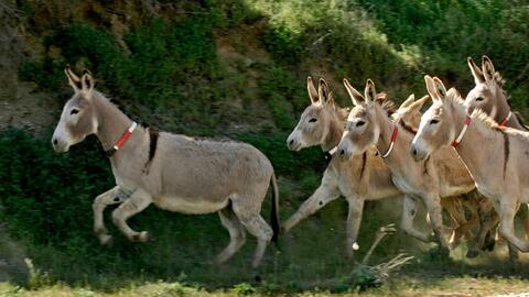 Los burros silvestres se han convertido en una amenaza a la seguridad p&...