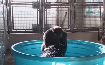 Gorila del zoológico de Dallas causa sensación por la forma de bailar mi...