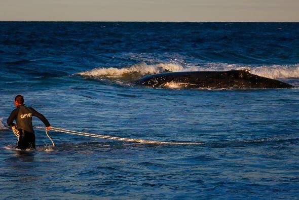 Cada año miles de ballenas quedan varadas a la orilla de la playa, algun...