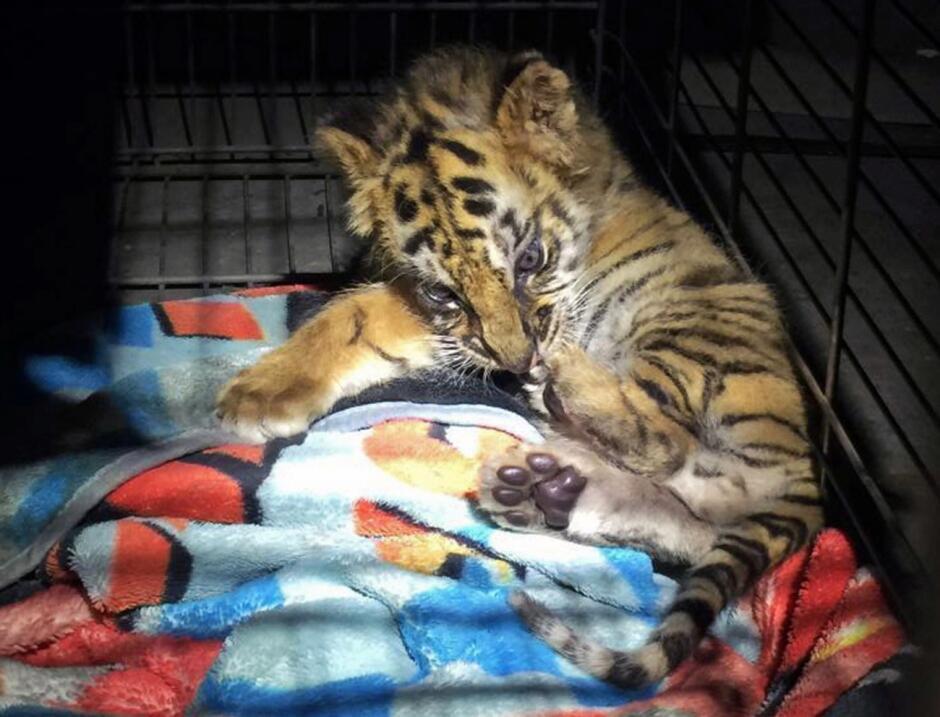 Tigre Tijuana contrabando