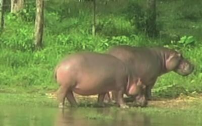 Los hipopótamos de Pablo Escobar, un problema para el ecosistema de Colo...