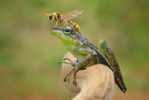 ¡Pero la rana no saltó o se movió para ahuyentar al insecto! Por el cont...
