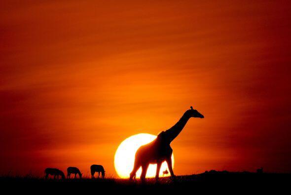 Una muy madrugadora jirafa posó mientras el sol apenas se asomaba.