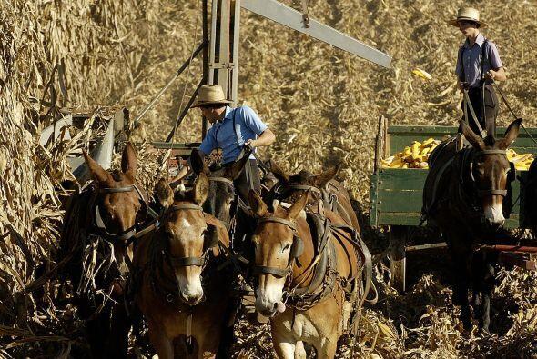 Trabajan el campo con equipamiento rudimentario en lugar de maquinarias,...