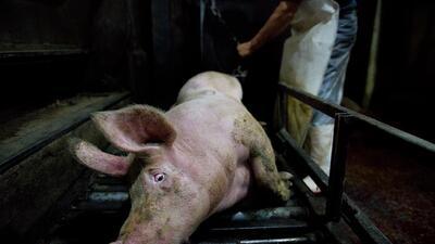 Retratos en los mataderos: la denuncia anónima sobre el maltrato animal en México