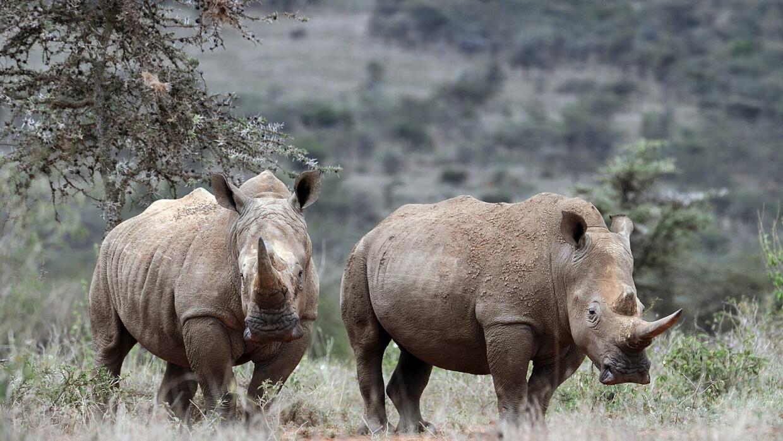 No, la caza de rinocerontes no se redujo en 2015  rinocerontes.jpg