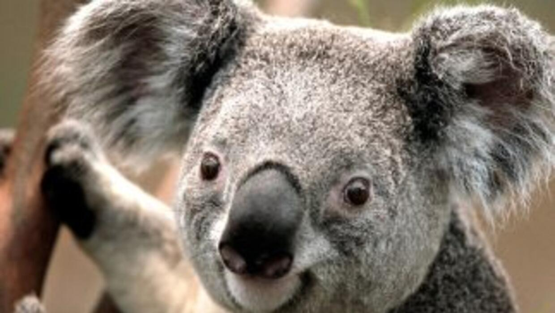 Un koala.