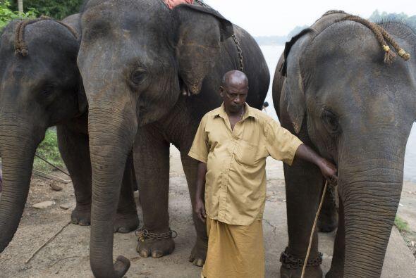 En el campamento los elefantes son domesticados y se se mantienen en cau...