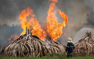 Kenia quema más de 100 toneladas de marfil