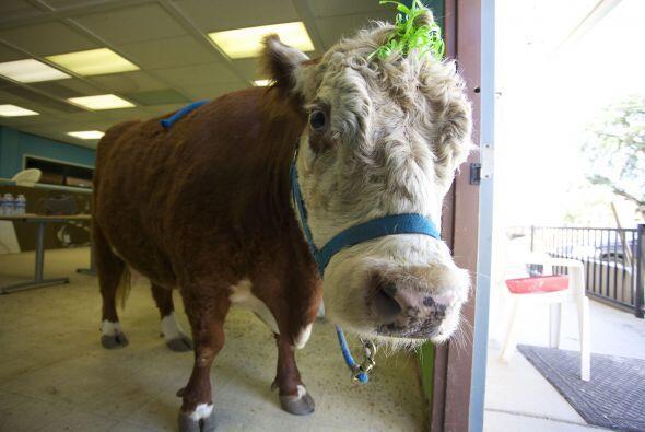 'Milkshake' fue rescatada por un santuario animal, después de ser maltra...
