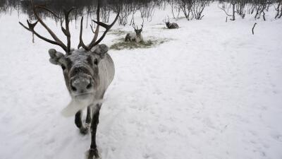 Qué dice la ciencia sobre la nariz roja del reno Rodolfo
