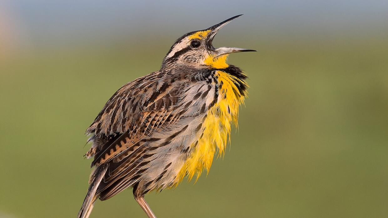 El pájaro que canta 'tortilla con chile' 5938243829_9b4c417c39_b.jpg