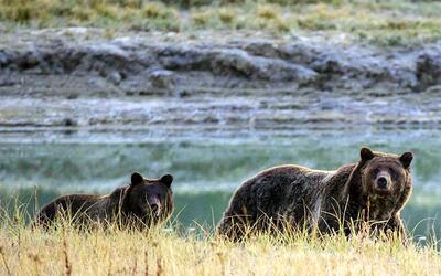 A partir de julio, dará jurisdicción sobre los osos a las...