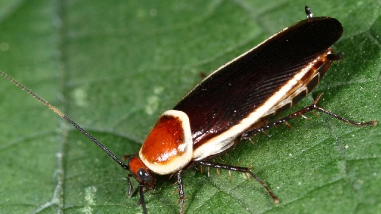 Nuevo tipo de cucaracha en la Florida.