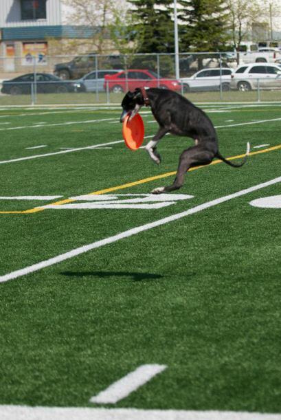 Para muchos perros atrapar un frisbee en el aire es una tarea difícil, p...