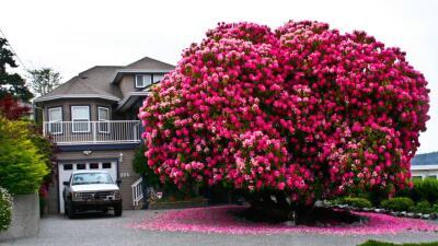 El ejemplar de rododendro es tan grande, que muchas veces lo confunden c...
