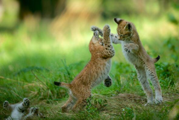 El lince es una maravillosa especie, cuando tienen cerca de 9 meses de e...