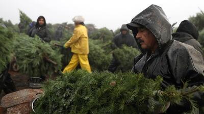 En fotos: Así es la masiva operación de cosecha de árboles de navidad