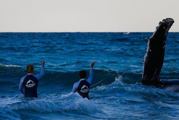 La ballena bebé pudo morir si nadie acudía a su rescate.