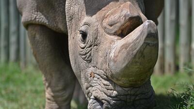 En fotos: Sudán, el último macho de rinoceronte blanco del norte