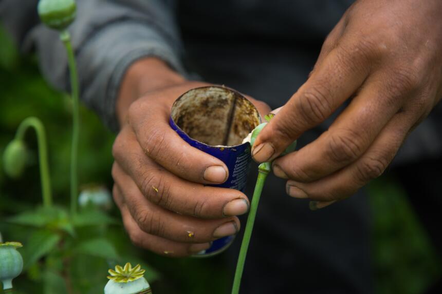 Los bulbos de amapola se rallan con una pequeña cuchilla para que se des...