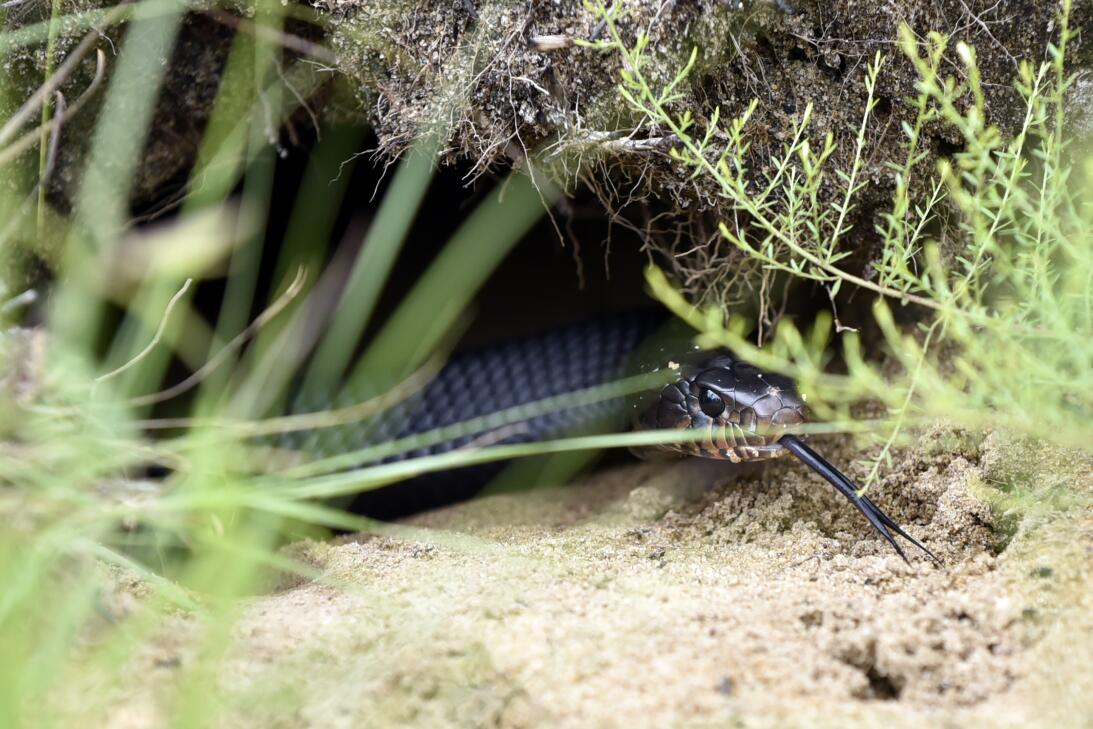 Así se crían las serpientes más largas de EEUU en Florida  Photo 2 Easte...