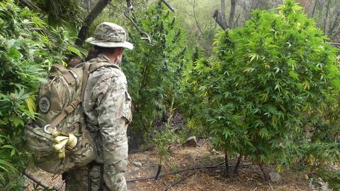 Algunas de las plantas de marihuana descubiertas en septiembre de 2016 e...