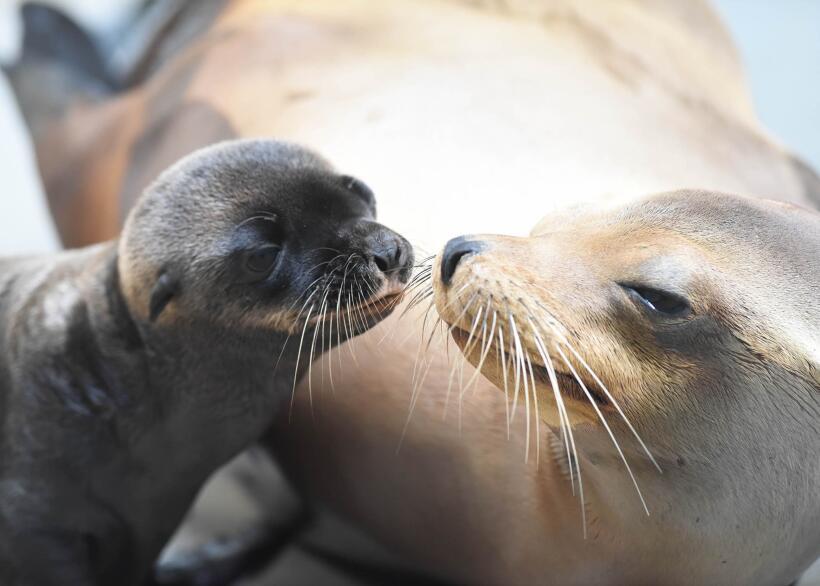 Se registra el naciomiento de dos leones marinos en el zoológico...
